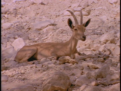 An ibex rests in a desert Live Action