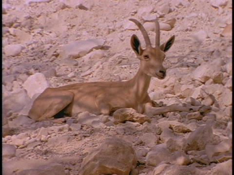 An ibex rests in a desert Stock Video Footage