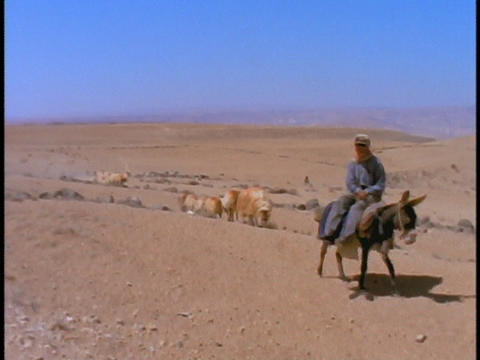 A Bedouin man leads his sheep as he rides on a donkey Footage