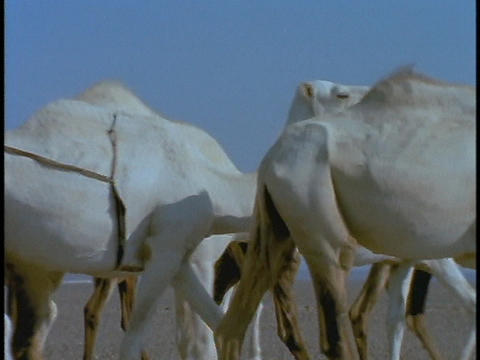 A herd of white camels walks across a desert Stock Video Footage
