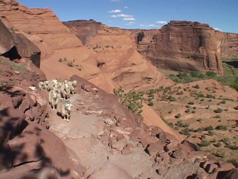 Sheep walk down a steep canyon trail Stock Video Footage