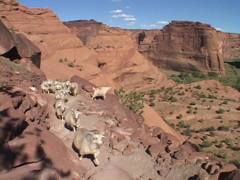 Sheep walk down a steep canyon trail Stock Video Footage
