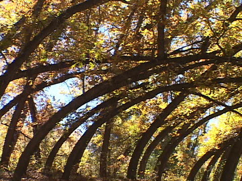 Autumn leaves adorn curved branches Stock Video Footage