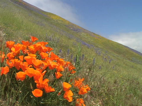 Orange California poppy wildflowers grow in a field Stock Video Footage