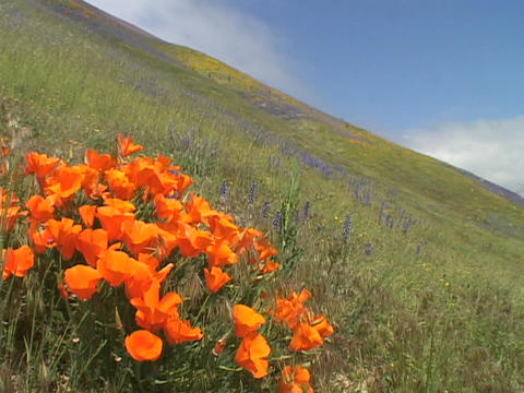 Orange California poppy wildflowers grow in a field Footage