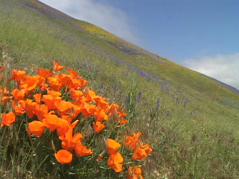 Orange California poppy wildflowers grow in a field Stock Video Footage