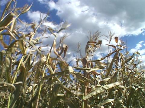 Stalks of corn wave in a field Stock Video Footage