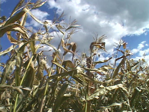 Stalks of corn wave in a field Stock Video Footage
