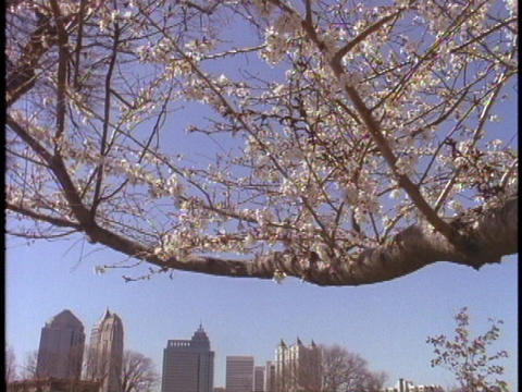 Cherry trees bloom at an Atlanta park Footage