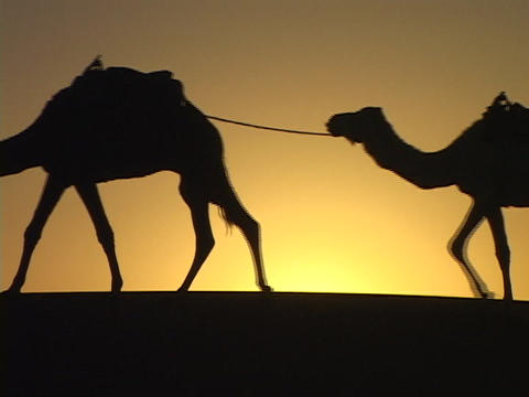 "A man leads camels through the desert along the Silk Road."""" Stock Video Footage"