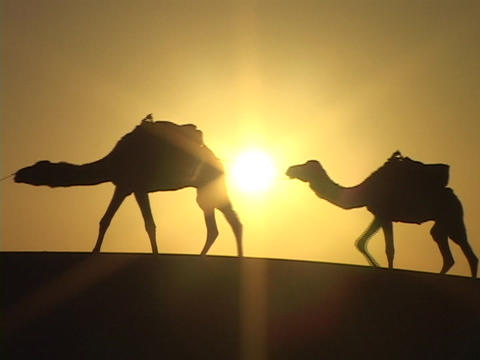 A man leads camels through the desert Stock Video Footage