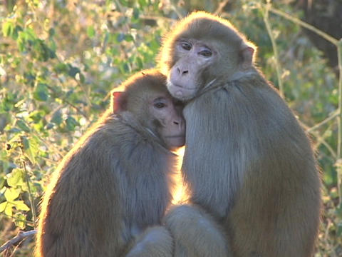 monkey cuddle together Stock Video Footage