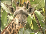 A giraffe stares into the distance Footage