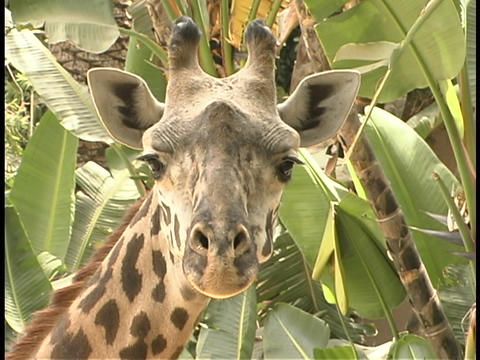 A giraffe stares into the distance Stock Video Footage