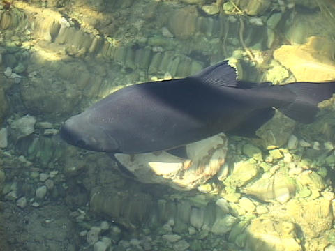 A large fish swims underwater in clear pond Stock Video Footage