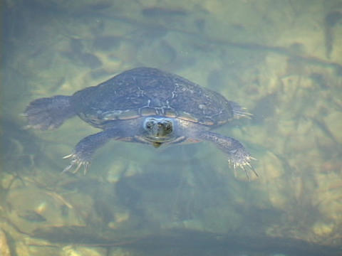 A turtle surfaces in pond and looks up Footage