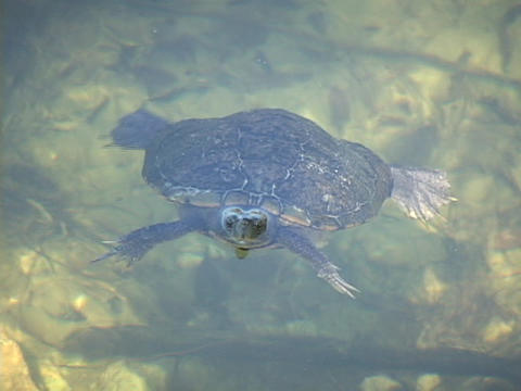 A turtle surfaces in pond and looks up Stock Video Footage