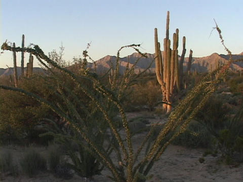 Spiny plants and other cacti cover the vast Baja desert... Stock Video Footage