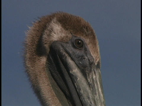A brown pelican looks around Stock Video Footage