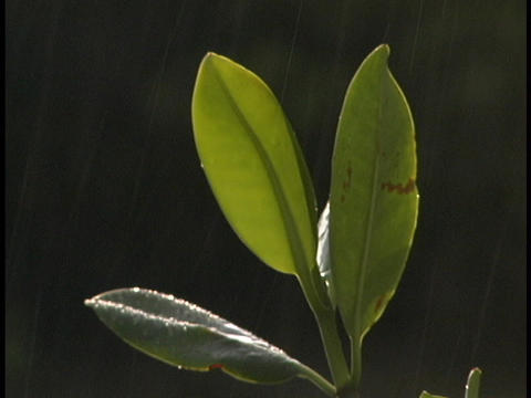 Rain falls on individual mangrove leaves Stock Video Footage
