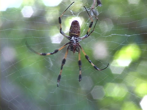 Large striped spider crawls on a web in the forest Stock Video Footage