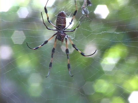 Large striped spider crawls on a web in the forest Footage