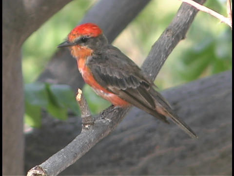 A Vermilion flycatcher perches on a thin limb Footage