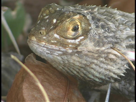 A chuckwallah lizard rests above a dried leaf Footage