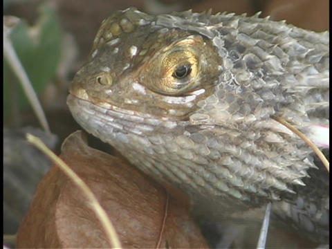 A chuckwallah lizard rests above a dried leaf Stock Video Footage