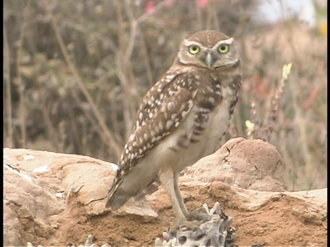 A Burrowing Owl stands on a rock and looks around Footage