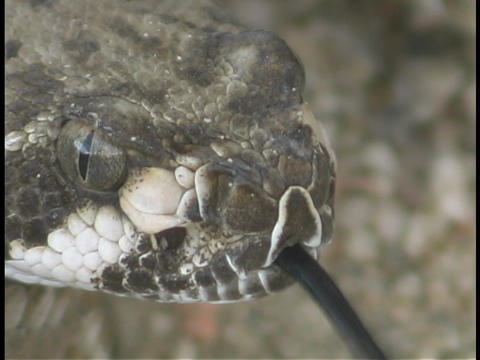 A rattlesnake tests the air with its tongue Footage