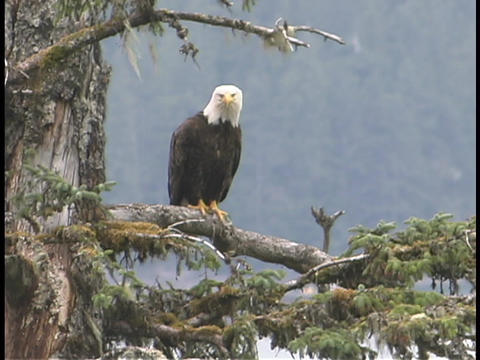 An American bald eagle perches in a pine tree Footage