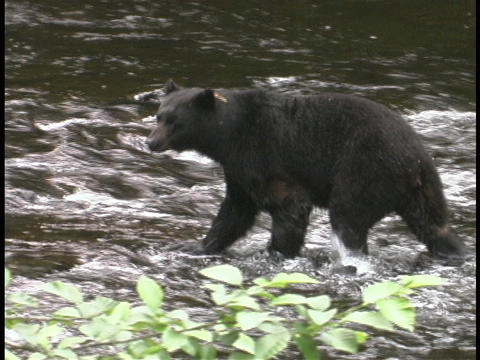 A bear begins to ford a river Stock Video Footage