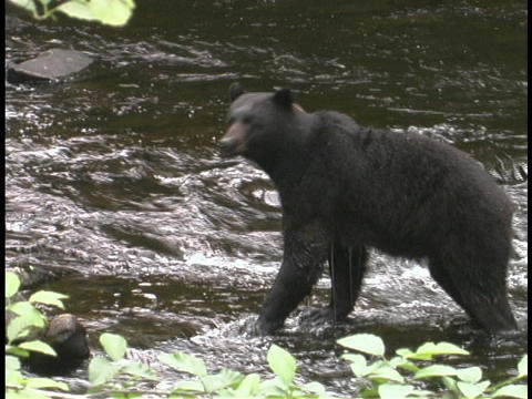 A bear begins to ford a river Footage