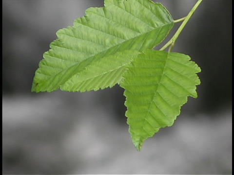 green leaves rustle above a stream Stock Video Footage