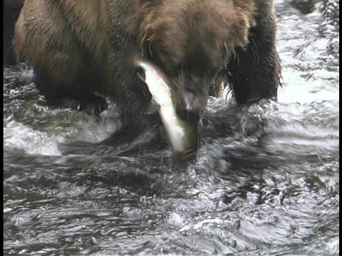 A bear snatches a salmon out of the water Footage