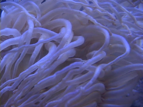 A sea urchin's tentacles wave underwater Stock Video Footage