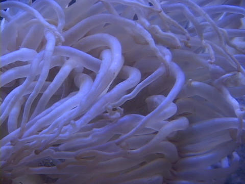 A sea urchin's tentacles wave underwater Footage