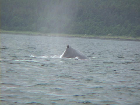 A whale curls its' fluke out of the water and back in Stock Video Footage