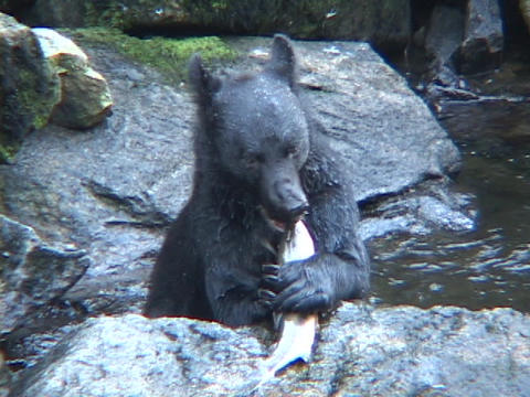 A black bear catches a fish out of the water and eats it Footage