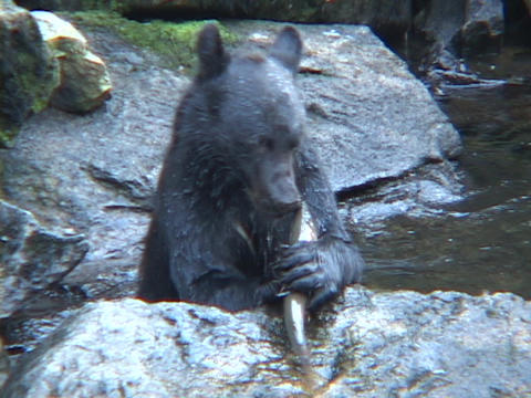 A black bear catches a fish out of the water and eats it Stock Video Footage