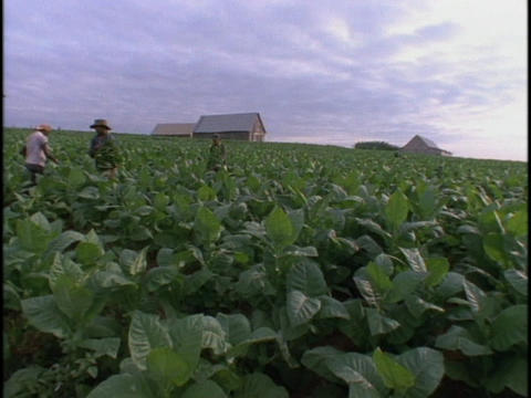 Cuban tobacco farm workers work in a field Stock Video Footage