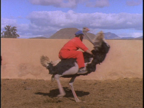 A man in an orange jumpsuit rides an ostrich around in circles Footage