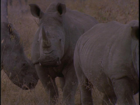 Three rhinos stand together in the savanna Stock Video Footage