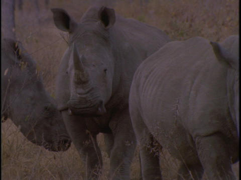 Three rhinos stand together in the savanna Footage