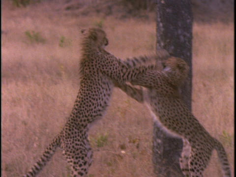 cheetahs are fighting and playing in the plains of Africa Footage