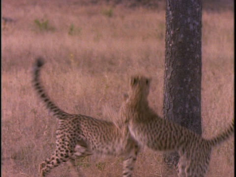 cheetahs are fighting and playing in the plains of Africa Stock Video Footage