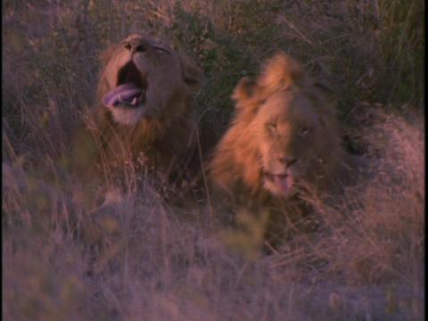 lions sitting in the high grass on plains of Africa Footage