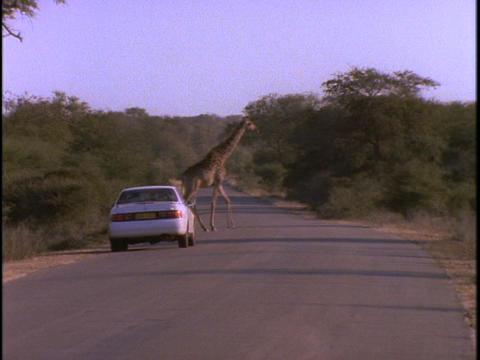 A white sedan stops to let a herd of giraffe cross Stock Video Footage