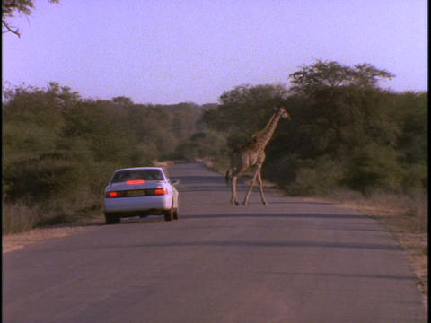 A white sedan stops to let a herd of giraffe cross Footage
